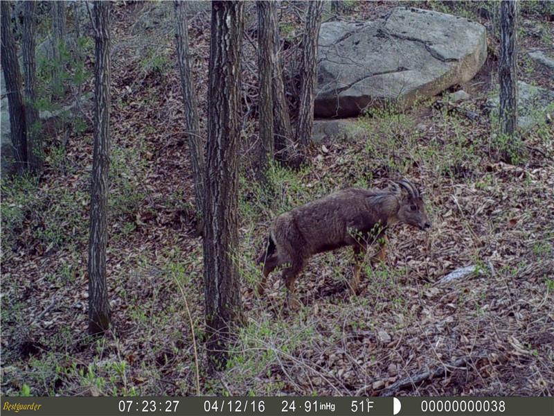 内乡宝天曼红外相机拍到多种野生保护动物
